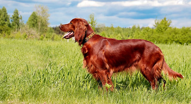 """Nature Trivia Question: In which country was the breed of gundog """"red setter"""" bred?"""