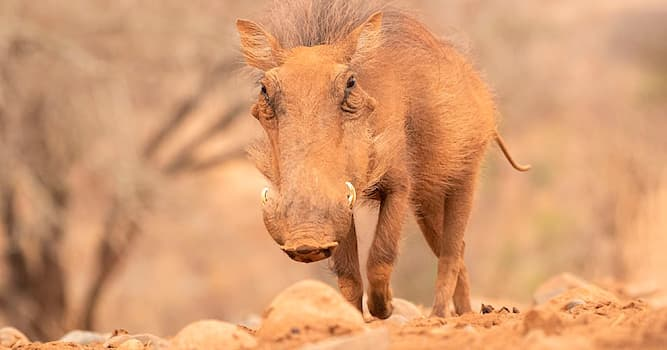 Nature Trivia Question: Why do warthogs have warts?