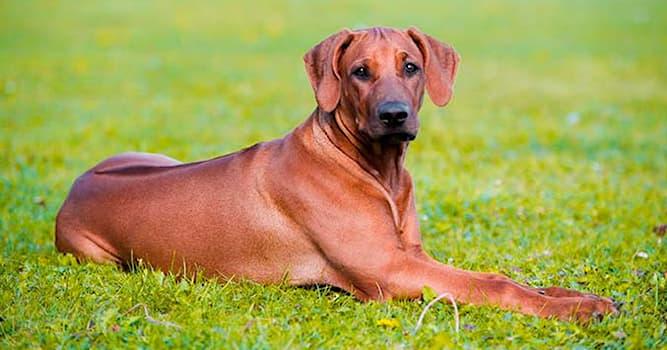 """Природа Вопрос: Представителей какой породы по-другому называют """"львиная собака""""?"""