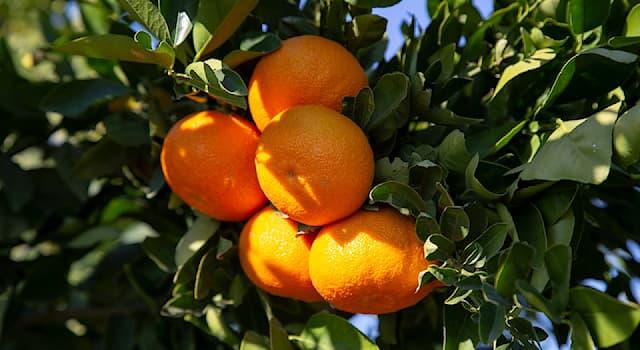 Природа Вопрос: Сколько плодов мандарина можно собрать с одного дерева за сезон?
