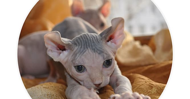 Природа Вопрос: В честь какого мифического существа названа порода кошек, выведенная в 2006 году?