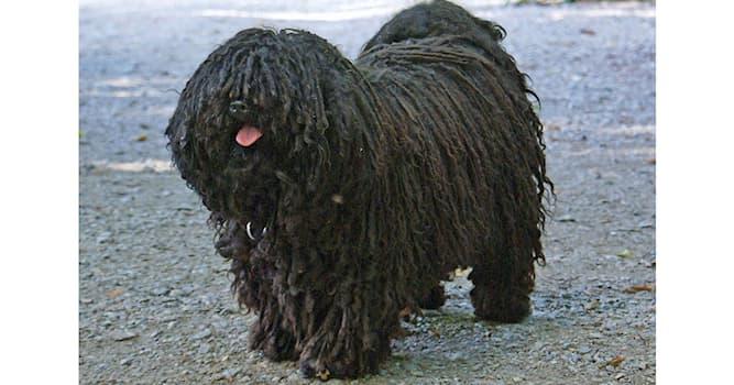Природа Вопрос: В какой стране была выведена порода собак, изображенная на фотографии?