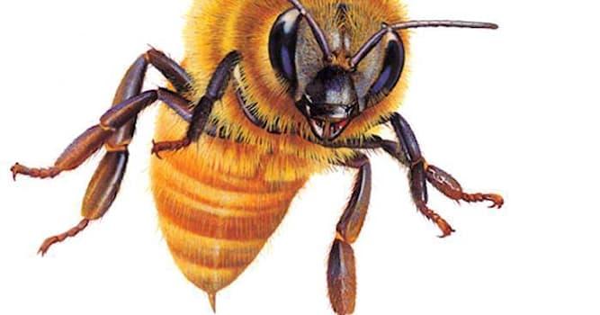 Природа Вопрос: Чем является жало у пчелы?