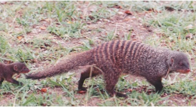 Society Trivia Question: In international espionage, what was Operation Mongoose?