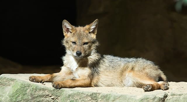 Природа Вопрос: К какому семейству животных относятся койоты?