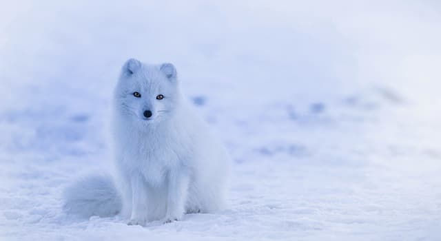 Nature Trivia Question: Which is another name of a white fox?