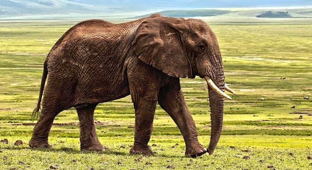 Природа Вопрос: Как называется чрезвычайно агрессивное поведение, которое периодически случается у самцов слонов?