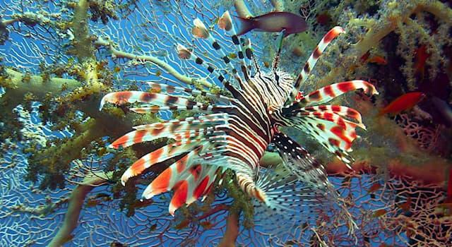 Природа Вопрос: Как, по самой популярной версии, ядовитая рыба-лев попала из Тихого океана в Карибский бассейн Атлантического?