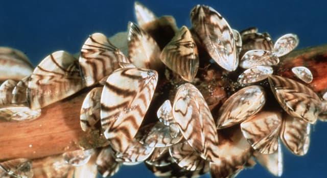 Природа Вопрос: Как полосатые мидии из Черного и Каспийского морей попали в Великие озера США и Канады?