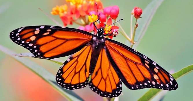Природа Вопрос: Какая бабочка является самой ядовитой в мире?