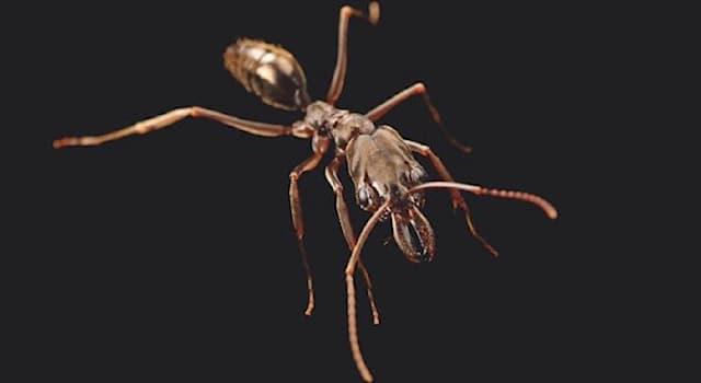 Природа Вопрос: Какая часть тела муравья Acanthognathus Teledectus позволяет ему катапультировать себя из зоны опасности?