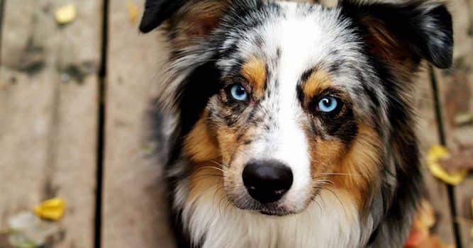 Природа Вопрос: Какая порода собак известна мраморным окрасом шерсти и голубыми глазами?