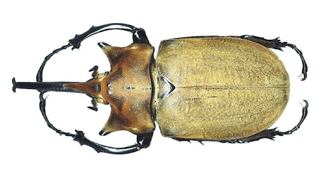 Природа Вопрос: Какой из перечисленных жуков считается одним из крупнейших в мире?