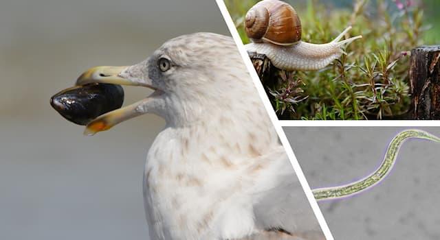 Природа Вопрос: Какой удивительной особенностью обладают некоторые улитки, мидии и черви-нематоды?