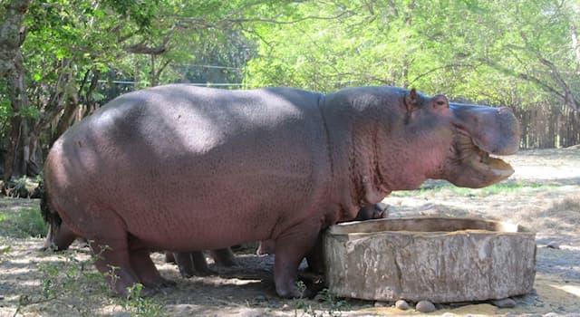 Природа Вопрос: Каков объём желудка у бегемота?