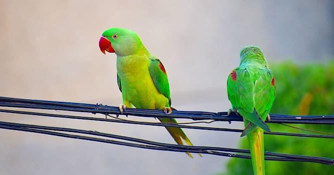 """Природа Вопрос: Какую европейскую столицу неожиданно """"оккупировали"""" тропические длиннохвостые попугаи?"""