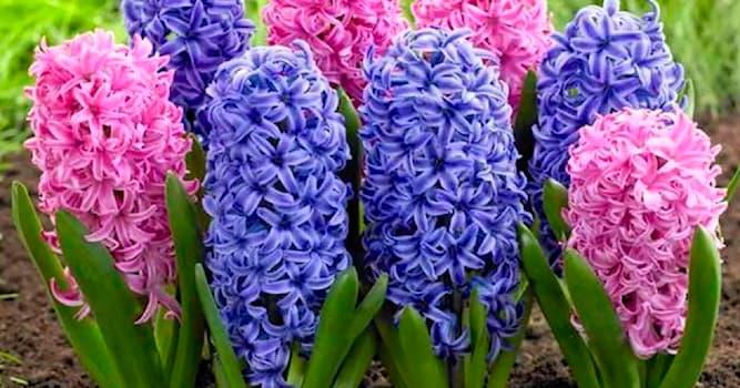 Культура Вопрос: Название цветка гиацинт происходит от древнегреческого мифа. Какой это миф?