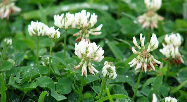 Nature Trivia Question: Where is the forage crop white clover native to?