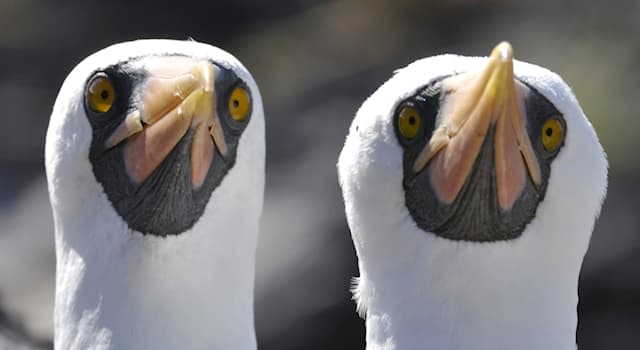 Nature Trivia Question: Where is the Nazca booby native to?