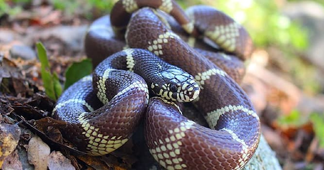 Nature Trivia Question: Which non venomous snake is known for killing rattlesnakes in the wild?