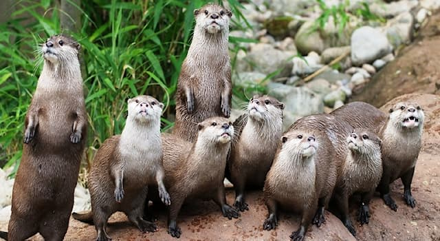 Nature Trivia Question: Which of these words is a collective noun for a group of otters?