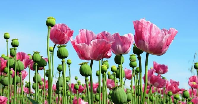 Society Trivia Question: As of 2020, which country is the largest producer of opium?