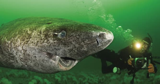 Nature Trivia Question: At what age does a female Greenland Shark reach sexual maturity?