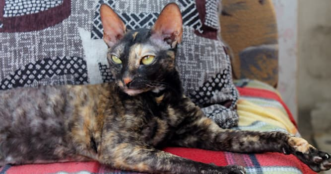 Природа Вопрос: Благодаря чему кошки породы Корниш-Рекс имеют волнистую шерсть?