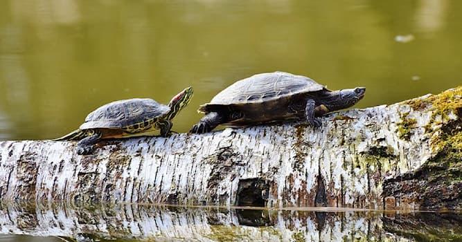 Природа Вопрос: К какому классу животных относятся черепахи?