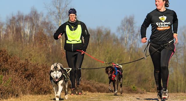 Спорт Вопрос: Как называется дисциплина ездового спорта, в которой собака тянет за собой бегущего спортсмена?