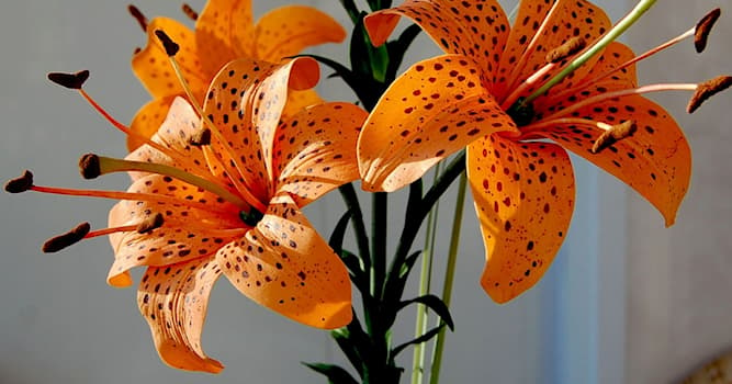 Природа Вопрос: Какое ещё носит название в народе цветок Лилия ланцетолистная?
