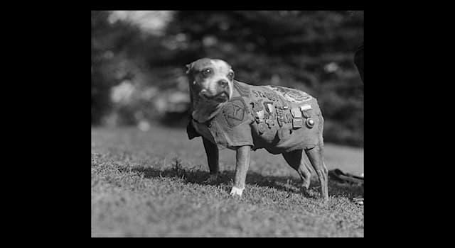 Природа Вопрос: Какое реальное воинское звание первой получила боевая собака Стабби, участвовавшая в Первой мировой войне?