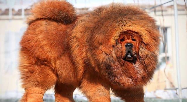 История Вопрос: Какой породы был пёс Балто, который вёз вместе с товарищами по упряжке сыворотку от дифтерии?