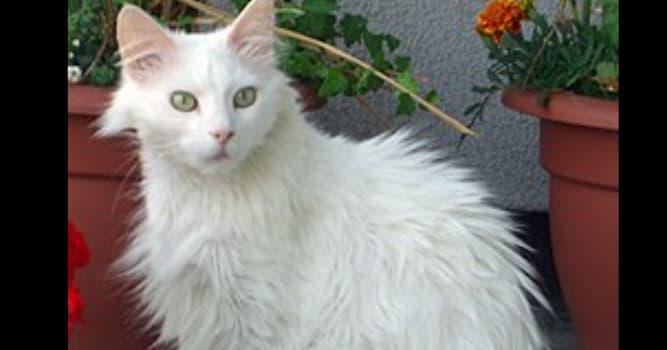 Природа Вопрос: Кошка какой породы изображена на фотографии?