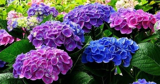 Природа Вопрос: Под каким названием нам известен цветок Hydrangea («сосуд с водой»)?