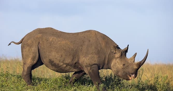 """Culture Trivia Question: """"Rhinoceros"""" is a Greek word, but what does it mean?"""
