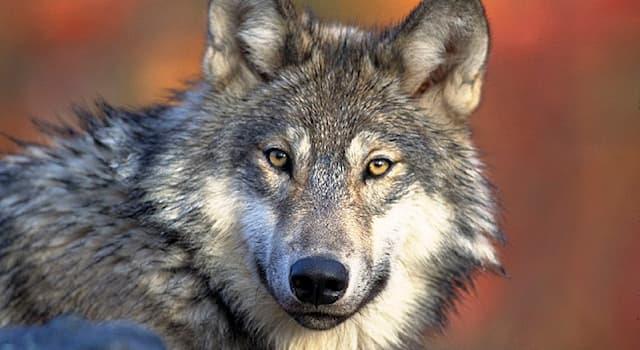 Природа Вопрос: Сколько в природе живут волки?