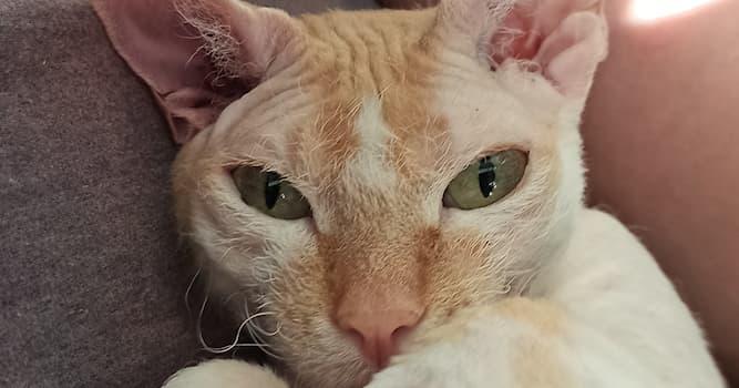 Природа Вопрос: У какой породы кошек закрученные усы от природы?