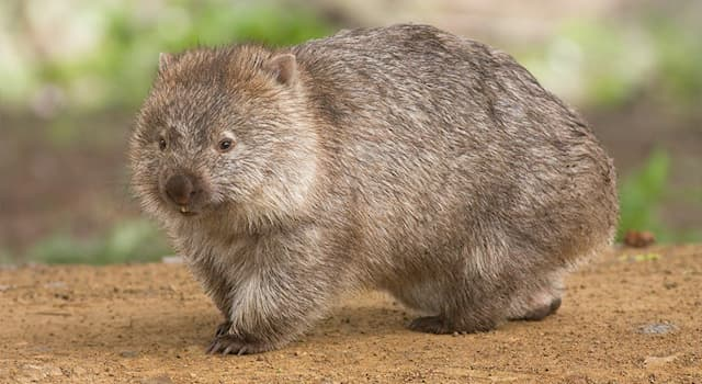 Nature Trivia Question: What (approximate) shape is a wombat's faeces?