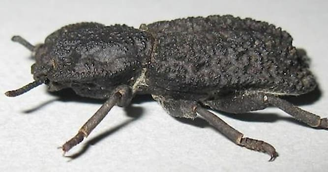 Nature Trivia Question: What is special about the diabolical ironclad beetle?