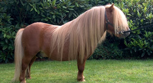 Nature Trivia Question: What is the name of the horse breed in the picture?