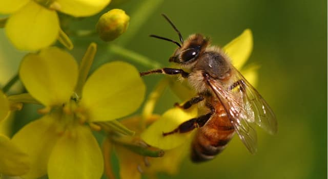 Nature Trivia Question: What kind of honeybee makes up 99% of the hive?