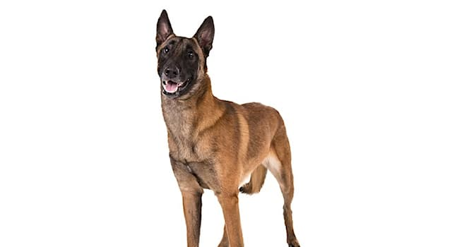 Nature Trivia Question: Which breed of dog is this?