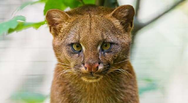 Nature Trivia Question: Which continent is the cat species jaguarundi native to?
