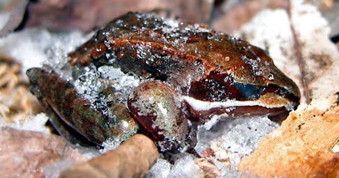 Nature Trivia Question: Which one of the frogs freezes up in the winter season?