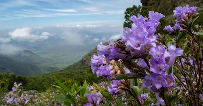 Nature Trivia Question: Which is this flower shrub that blooms in the hills of South India once in twelve years?