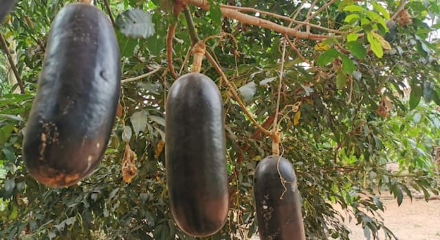 Nature Trivia Question: Which of the following edible species is not related to the cassabanana?