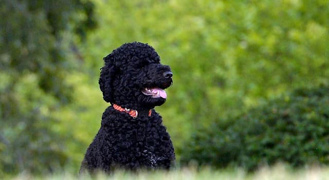 History Trivia Question: Which of the following is the name of one of former President Obama's family dogs?