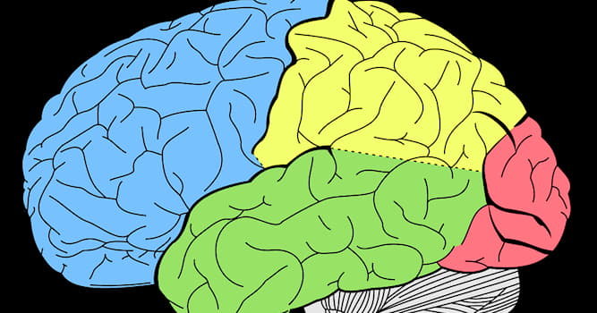 Science Trivia Question: Which of these is a lobe in the human brain?