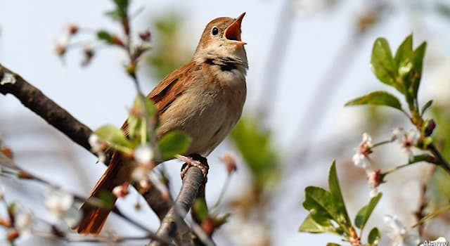 History Trivia Question: Which singer was nicknamed the 'Swedish Nightingale'?